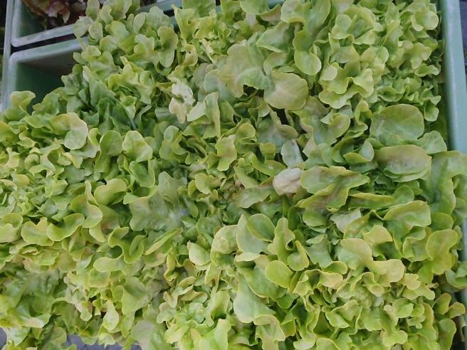 A bin of lettuce for sale.