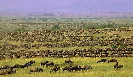 big-herd-wildebeest