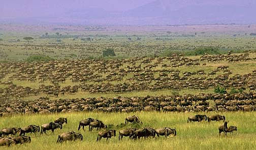big-herd-wildebeest